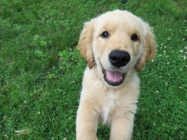 Ein Golden-Retriever-Welpe
