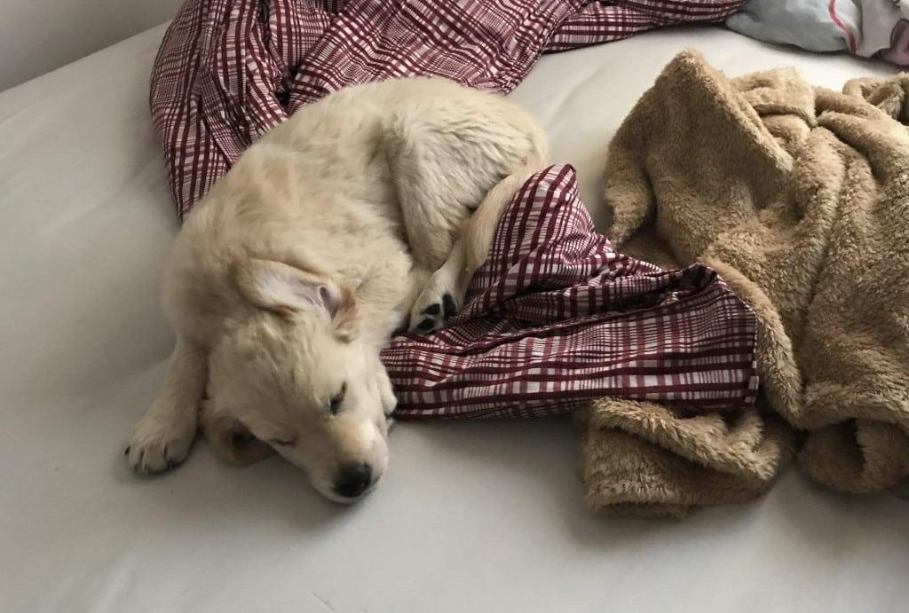 Noch ist er klein: Der Welpe im Bett.