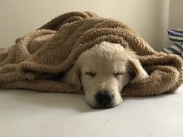 Der Welpe kommt ins Haus – und schläft erst einmal.