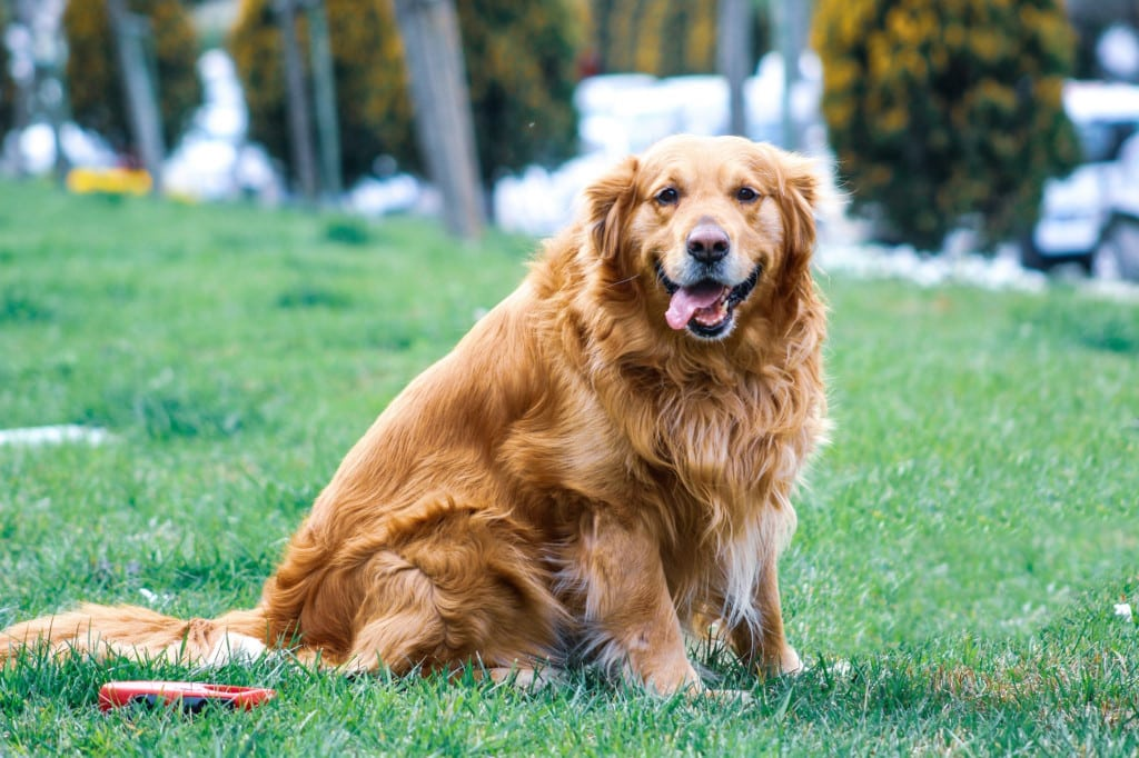 ein dicker Golden Retriever
