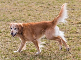 ein alter Golden Retriever