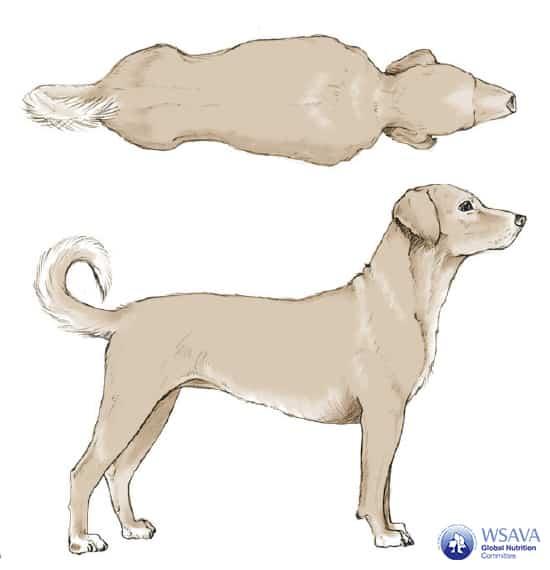 Grafik BCS Hund Idealgewicht